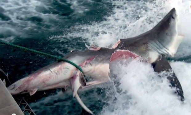 Tubarão é devorado por monstro de 6 metros